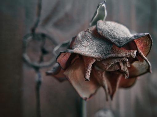 2029 – Sterbende Rose